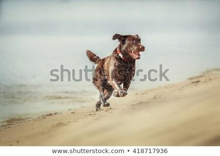 ブラウン ラブラドル を実行して ビーチ 美しい 犬 ストックフォト © elly_l