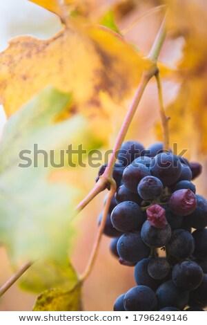Színes szőlőtőke részlet lomb ősz idő Stock fotó © prill