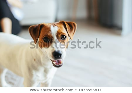 little puppy jack russel terrier Stock photo © cynoclub
