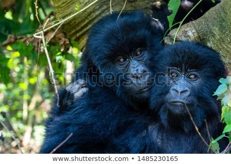 Stock fotó: Erdő · Uganda · ködös · részlet · Afrika · fa