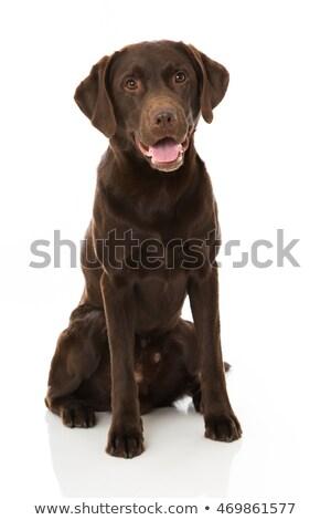 Barna labrador Stock fotó © mitay20