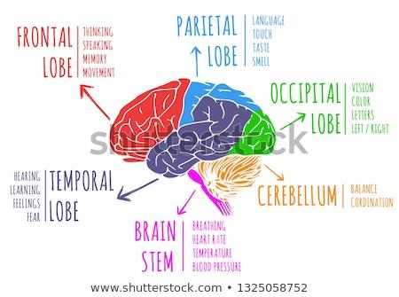 confusi · umani · intelligenza · testa · cervello - foto d'archivio © lightsource