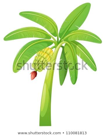 banana tree fruit 1 stock photo © tony4urban
