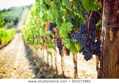 Hills of Tuscany with Vineyard for Production of Wines Chianti a Stock photo © anshar