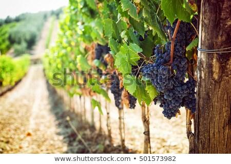 яркий · виноградник · великолепный · оранжевый · небе · зеленый - Сток-фото © anshar
