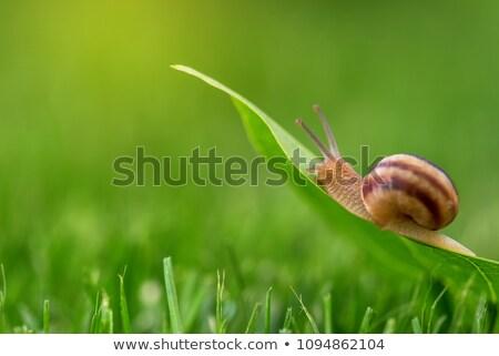 Snail in grass wallpaper Stock photo © rafalstachura