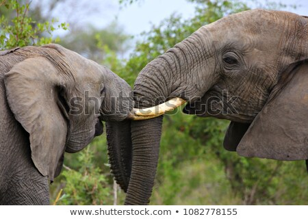 Two young male elephantys play fighting Stock photo © Hofmeester