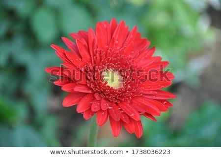 Barberton daisy background Stock photo © varts