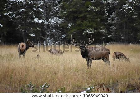 Female Elk in Yellowstone Park Stock photo © emattil