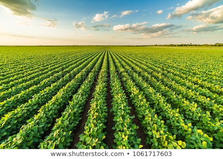 Szójabab mező napos idő természet nyár zöld Stock fotó © vtorous