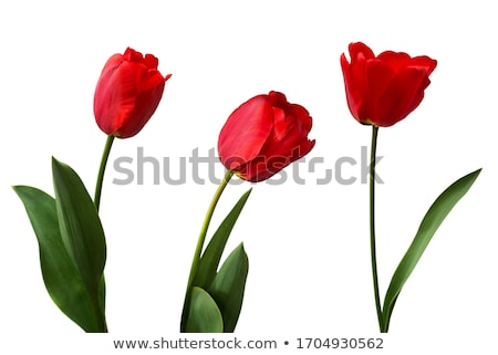 Belle fraîches rouge tulipes une feuilles vertes Photo stock © juniart