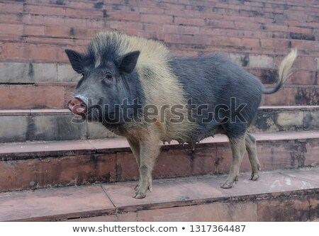 pig indian stock photo © artcreator
