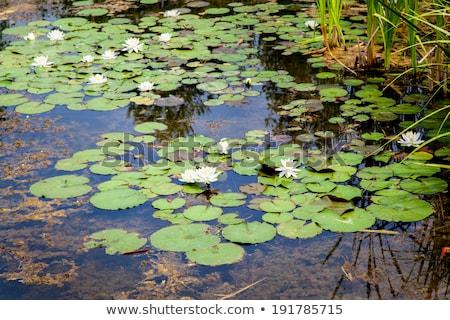 White lotus flower in a pond, Tobermory, Ontario, Canada Stock photo © bmonteny