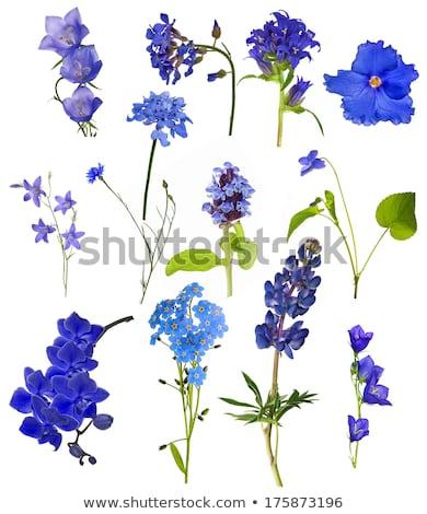 Chicory flower closeup at a stem Stock photo © olandsfokus