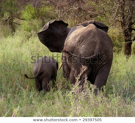 éléphant derrière herbe gris Photo stock © JFJacobsz