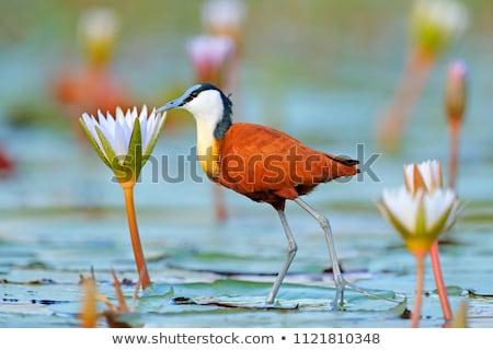 Afrikaanse vogel Botswana wrak water reserve Stockfoto © romitasromala
