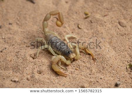 Deserto peloso scorpione illustrazione vettore Foto d'archivio © derocz