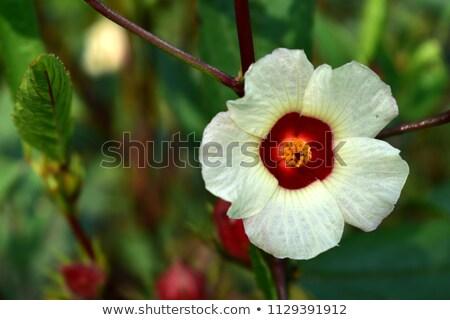 ebegümeci · meyve · çiçek · yaprakları · çay · bitki - stok fotoğraf © master1305