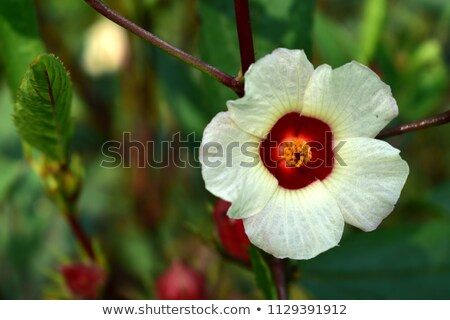 hibisco · frutas · flor · folhas · chá · planta - foto stock © master1305