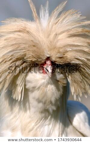 Galinha retrato zangado olhando raso Foto stock © FOTOYOU
