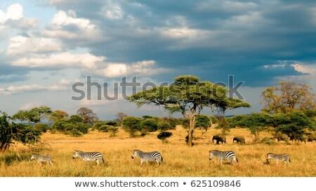 elephants in Masai Mara National Park. Stock photo © meinzahn