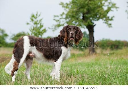 Faible chien de chasse portrait Photo stock © andreasberheide