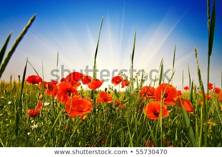 poppies and wheat early by summer stock photo © lypnyk2