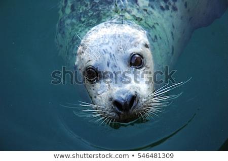 Blue Eyed Seal Stock photo © derocz