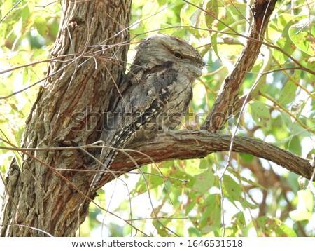 Tawny Frogmouth Owl Stock photo © bluering