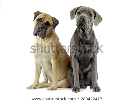 bull mastiff and puppy cane corso sitting in a white studio floo Stock photo © vauvau