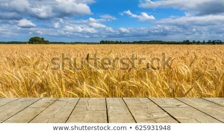 Bereich zunehmend Weizen Frühling Landschaft Stock foto © OleksandrO