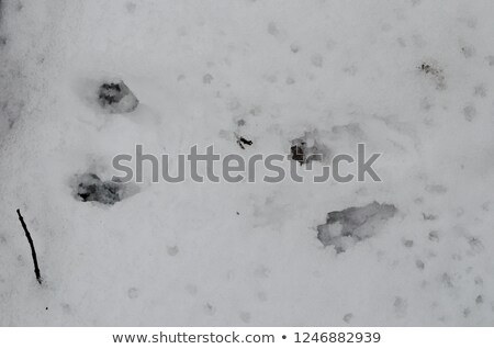 squirrel tracks in the woods Stock photo © adrenalina