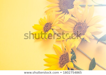 girassóis · jardim · branco · ilustração · paisagem · fundo - foto stock © bluering