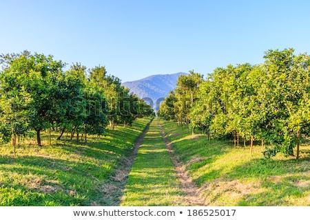 Turuncu çiftlik turuncu meyve ağaç yeşil yaprakları Stok fotoğraf © Yongkiet