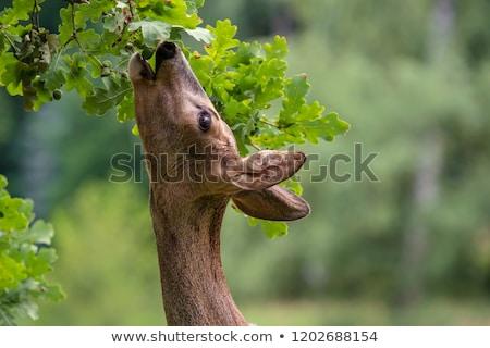 portret · młodych · Jeleń · piękna · zielone - zdjęcia stock © fotoyou