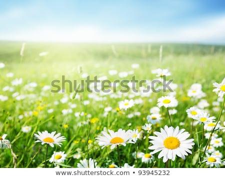 blanco · manzanilla · campo · gotas · de · agua · macro · primavera - foto stock © anna_om