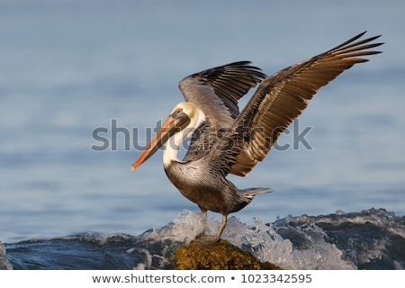 Brown Pelicans (Pelecanus occidentalis) Stock photo © dirkr