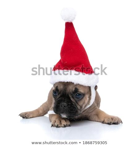 cute french bulldog lying down wears santa cap Stock photo © feedough