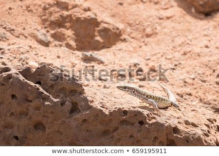 lagarto · naturalismo · habitat · verde · animal · biologia - foto stock © chris2766