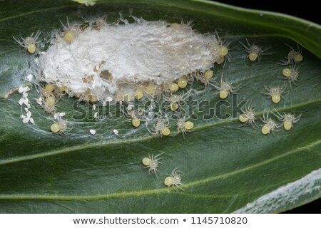 Hatching baby spiders Stock photo © Zela