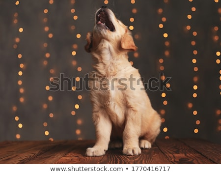 head of adorable golden retriever panting and looking up stock photo © feedough