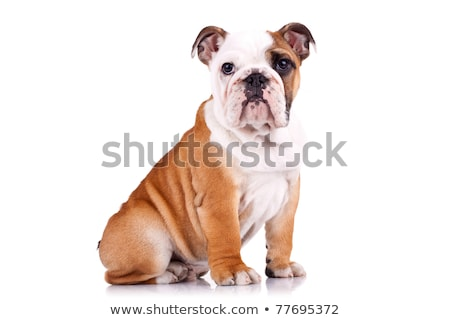 side view of seated white english bulldog looking to side Stock photo © feedough