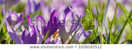 Crocus fleurs lumière du soleil belle pourpre lumière Photo stock © fama