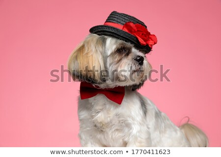 elegant shih tzu wearing pink bowtie stands Stock photo © feedough