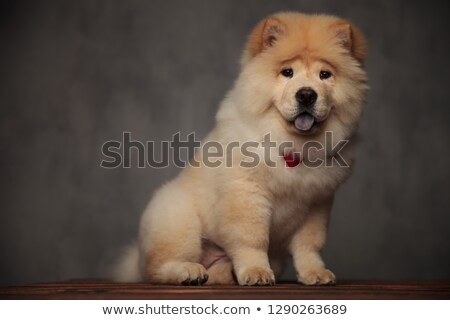 gentleman chow chow with cute puppy eyes sitting and panting Stock photo © feedough