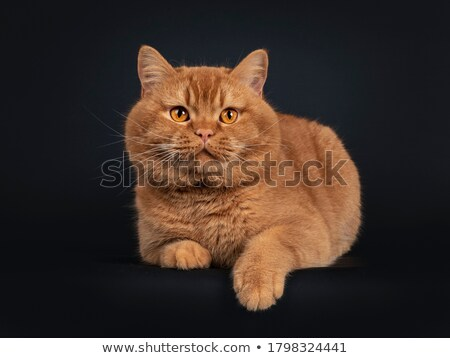 Young adult red British Shorthair male cat on black background Stock photo © CatchyImages