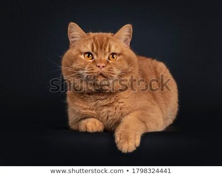 ストックフォト: Young Adult Red British Shorthair Male Cat On Black Background