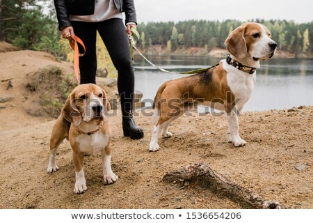 Young woman in skinny jeans and leather jacket chilling with cute beagle puppies Stock photo © pressmaster