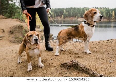 beagle · cuccioli · erba · giocare · famiglia · gruppo - foto d'archivio © pressmaster