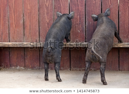 Little black pigs stand on a wooden fence on a farm Stock photo © galitskaya